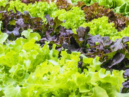 butter head: Organic hydrophonic vegetable in backyard. Stock Photo