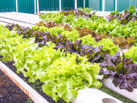 butter head: Organic hydrophonic vegetables in backyard. Stock Photo