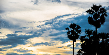 sugar palm: sugar palm with sunrise and cloud Silhouette effect tone color