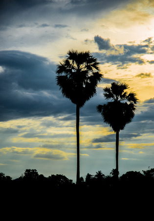 sugar palm: sugar palm with sunrise  Silhouette and effect tone Stock Photo