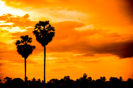 sugar palm: sugar palm with sunrise vintage tone Stock Photo