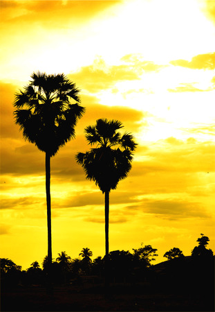 sugar palm: sugar palm with sunrise and cloud Sihouette and effect tone