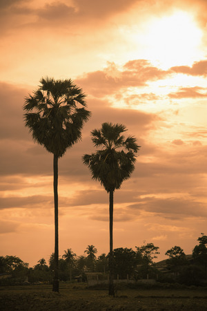 sugar palm: sugar palm countryside with sunrise vintage color Stock Photo