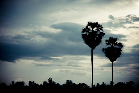 sugar palm: sugar palm with sunrise and cloud Silhouette and effect tone color