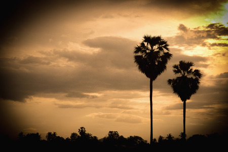 sugar palm: sugar palm with sunrise and cloud Silhouette and effect vintage tone