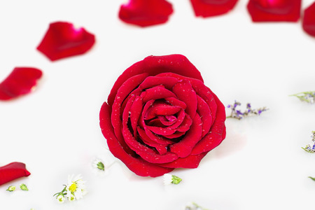 comely: Red rose with white background