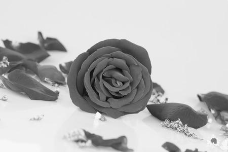 vehement: Dye rose with  Rose petals, Monochrome Stock Photo