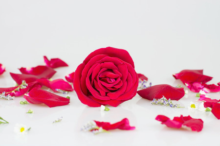 vehement: Red rose with white background