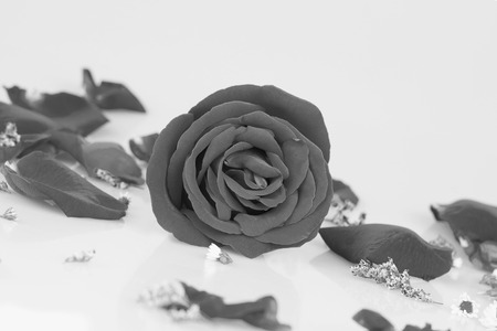 comely: Dye rose with  Rose petals, Monochrome Stock Photo