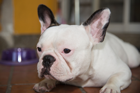front side: Front side French bulldog looks sad at home