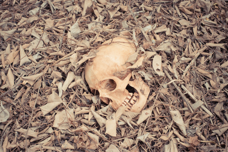 still life skull human in the dry leaf was forgotten, vintage tone