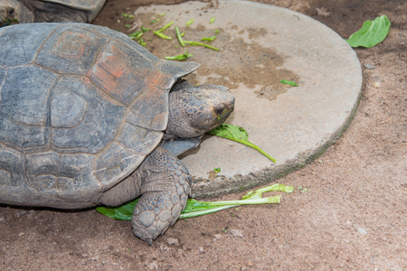 land turtle: Giant Galapagos land turtle, eating in El Chato Tortoise Stock Photo