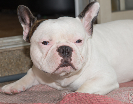 Front side French bulldog looks smart at home Stock fotó