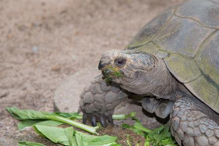 Giant Galapagos land turtle, eating in El Chato Tortoise Stock fotó