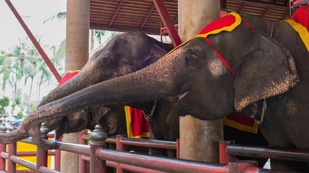 Elephant in Thailand elephant conservation center, Lampang province Stock fotó