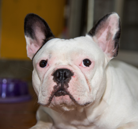 paw smart: Front side French bulldog looks smart at home Stock Photo