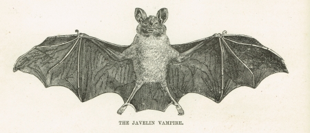 The Javelin Vampire Bat - a scientific drawing of a small blood sucking bat with its wings spread exposing the anatomy of this animal  The animal has vampire teeth, small claws and tiny legs