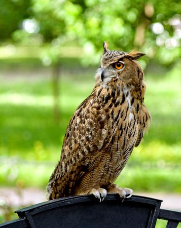 Eurasian Eagle-Owl against a grassy background