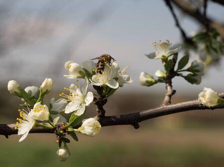Bee pollinates flowers of apple Banco de Imagens