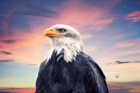 far sighted:  Bald Eagle                        Stock Photo