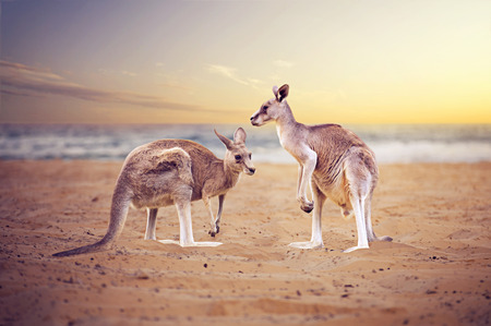 Kangaroos at the beach