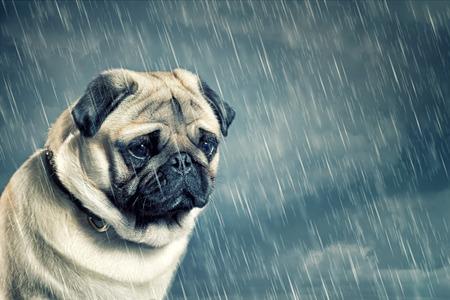雨の中のパグ