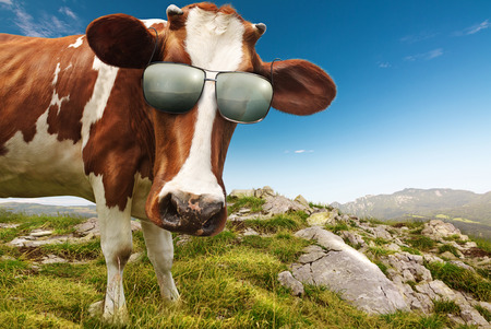Curious Cow with Sunglasses
