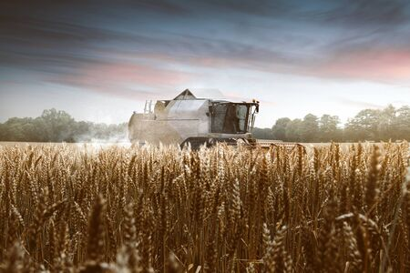 Combine harvester on grainfield