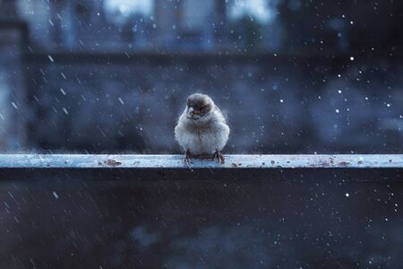 Sparrow sits in the rain on railing