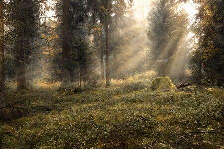 Sunbeams in a misty forest Stock fotó