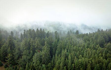 Nebliger Bergwald mit Fichten