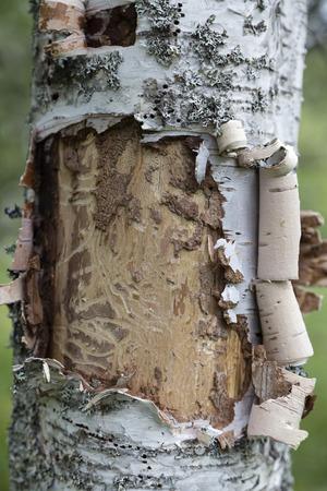 birch bark: A close up on birch bark and a sick tree Stock Photo
