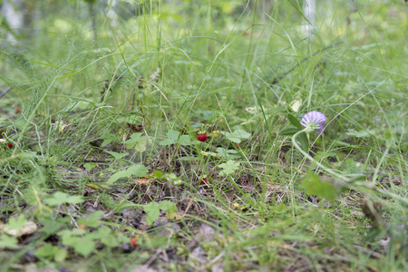 strawberrys: Wild strawberrys in the nature from a low angle Stock Photo