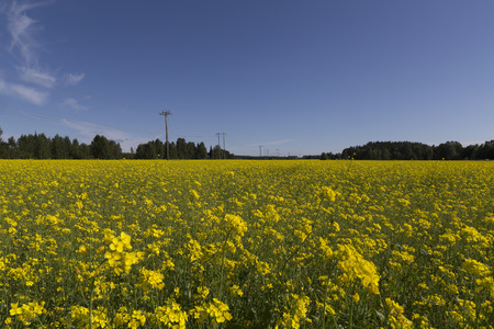 powerlines: Powerlines in the background of a rapeseed field