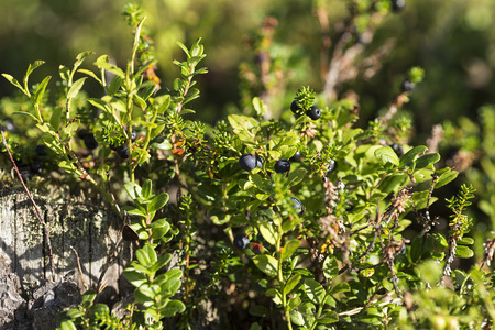 sweden resting: A group of blueberry on a plant in a forest