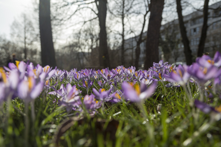 A whole field of crocus in front of a building between some trees Stock Photo