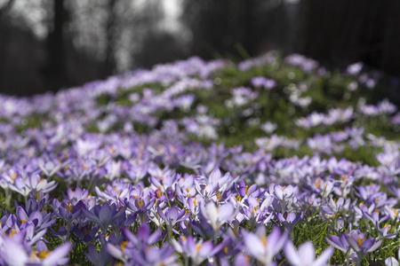 grass area: A small filed of purple crocus on a grass area Stock Photo