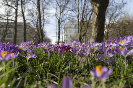 low perspective: A group of crocus from a low perspective and some have a darker purple color Stock Photo