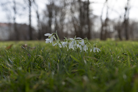 low perspective: A group of snow bells from a low perspective in a forest Stock Photo