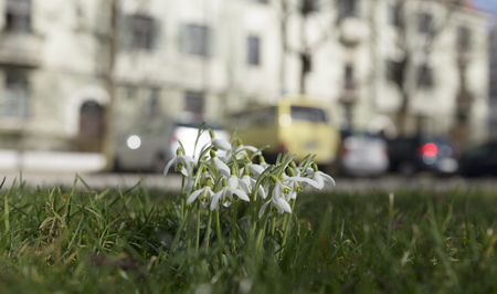 grass area: A group of snow bells and some parked cars on a grass area