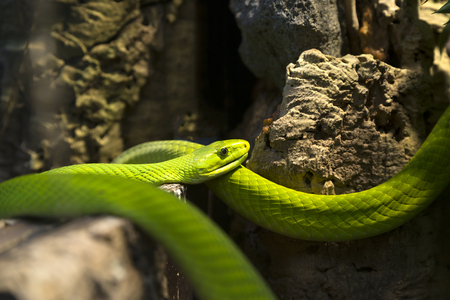 terrarium: A green mamba in a terrarium Stock Photo