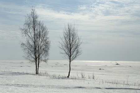 Some naked birch in front of a frozen ocean and a cloudy sky