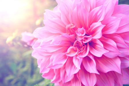 ダリア ピンク背景ぼかし