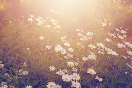 field of daisies: Field daisies in a dream atmosphere.