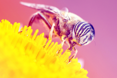 tiger eyes: Tiger eyes small insect eating yellow pollen. Stock Photo