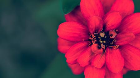 Red Zinnia in full bloom blurred background.
