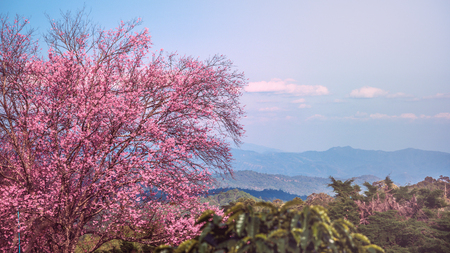 background nature natural mountain views. The flowers cerasoides. khunwang chiangmai thailand.