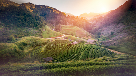 Background natural landscape view on the mountains. Evening sunsets tea plantation on the mountain. Thailand doi-angkhang Stock Photo