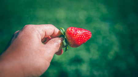Fresh strawberries closeup. holding strawberry in hands Stock Photo