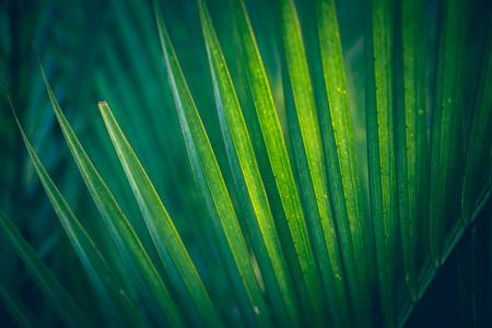Fond naturel de feuilles vertes. Fond laisse vert. Cyrtostachys renda Blum feuilles Banque d'images - 83856522